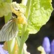 春の庭・・・スジグロシロチョウが遊びに来た