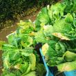 キャベツ定植、大根、コカブ、レンソウ播種