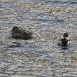 ベロぺロネとくつろいで泳ぐ鴨たち