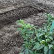 2畝にニンニク、細ネギ、菊菜を植えました。