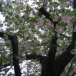 造幣局桜の通り抜け2018〜その2〜