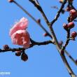 春の兆し「かにが沢公園」の梅開花!!