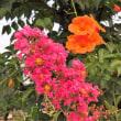 凌霄花と百日紅