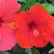 メモ帳849ページ ハイビスカスの花達からパワーを貰う