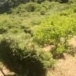 杉垣刈り込みへ。