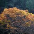 終わりかけのコスモスと色づく木々
