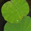 雨のつぶ、睡蓮の葉っぱ。