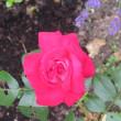 夏の薔薇一輪×5・・健康の秘訣