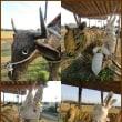 No.2594田園風景の中に牛、虎、兔、龍が現れたけれど兔さんは薄汚れていた・・・