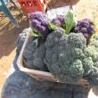 お土産は野菜たち