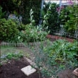 思い出のオリーブを植える★百日草のドライ