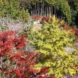 紅葉と桜花のコラボレーション 小原四季桜まつり 2