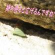 ハキリバチちゃんの宅急便~まるで、ほうきに乗った魔女みたいで可愛い~!(ロケットマン?・・いや、お手紙)