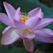 8月13日  ハスの開花