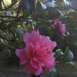 山茶花と木漏れ日