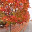 モミジの街路樹