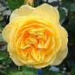 朝に、グラハムトーマス(二番花)が咲いています