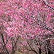 陽光桜並木 (志摩横山・創造の森)