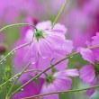 花彩々  コスモスの花