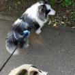 シャンプーと最近の散歩状況