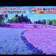 4/21 これも昨日投稿したかった 芝桜というのは