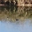 バン(水鳥・黒鳥)が泳いでいました。
