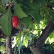 グミの実とサツマイモ