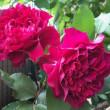 バラの季節