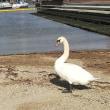 清水のドリプラに白鳥がいる!?