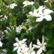 クチナシの花、、、、