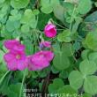 本家で咲かなかったマツムラソウ,ハナカタバミ(オキザリス・ポーウイ)