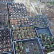 サツマイモ掘り残し全て収穫 これから定植予定の苗順調!