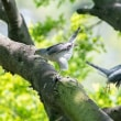 一期一会・・・鳥撮りの記  271 コマドリ、ツミ