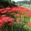 矢掛町美山川一帯の彼岸花