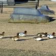 信州の諏訪湖のほとりで遊ぶ冬鳥の姿