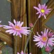 早春の草花展 (7)