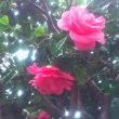 庭の花 (椿)