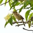 モエレの鳥たち 5/23 水曜日 コヨシキリ遊び