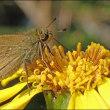 ツワブキを愛する昆虫たち