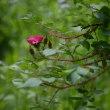 百合が原公園のバラ -8-
