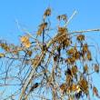 オニグルミの枝にクズの実がたくさん