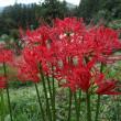ヒガン花とアケビ