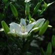白ユリが咲きました