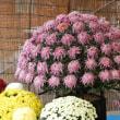 菊の花展示大輪&懸崖の凄さを楽しむ(11/13)