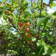 さくらんぼの実を収穫しました。