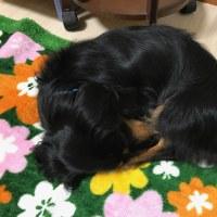 お花畑で寝る愛犬(笑