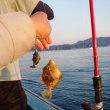 金谷港光進丸午後船のカワハギ釣り