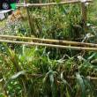 ハト麦の収穫