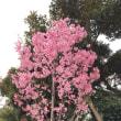 桜咲く~~~~