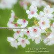さくら・桜・サクラ